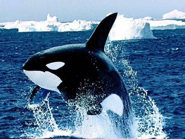 Mơ thấy cá voi có điềm báo gì và đánh con số nào?
