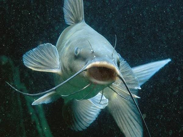 Mơ thấy cá trê có điềm báo gì và đánh con số nào trúng?