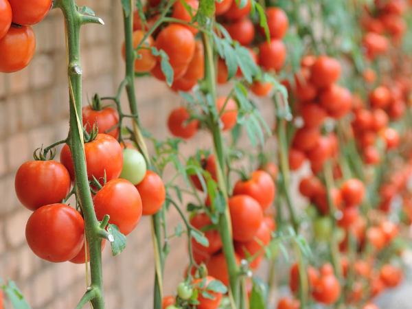 Mơ thấy quả cà chua có điềm báo gì và đánh con gì?