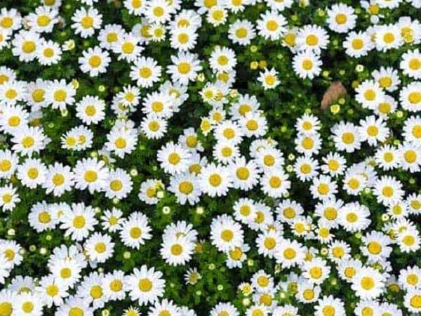 Mơ thấy hoa màu trắng là điềm báo gì? đánh con số nào?