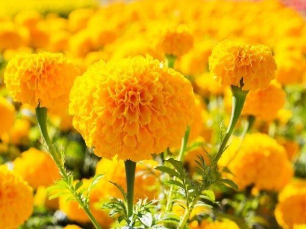 Mơ thấy hoa vạn thọ điềm gì? Giải mã giấc mơ hoa vạn thọ?