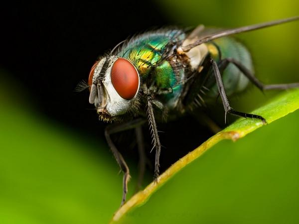 Mơ thấy ruồi điềm báo gì? đánh con số nào may mắn?